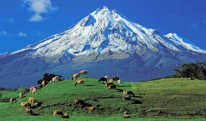 Cows Grazing by Mt. Taranaki