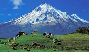 Cows Grazing by Mt. Taranaki