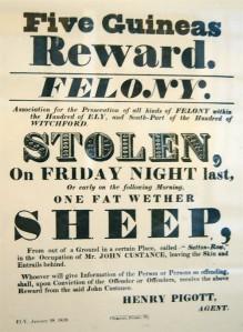 Stolen Sheep!